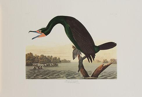 Florida Cormorant Pl 252