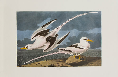 Yellow-Billed Tropic Bird Pl 262