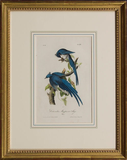 Columbia Magpie or Jay  Pl. 229
