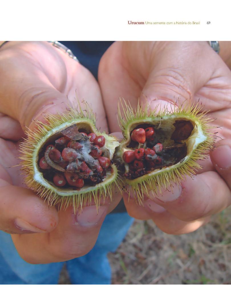 Destruição do fruto de urucum pelo ataque de pragas - Acervo particular do autor
