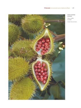 Cápsulas e sementes de urucum - Acervo particular do autor