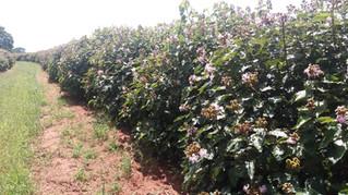 """Entrevista com o engenheiro agrônomo Roberto Hissao Arakaki sobre o cultivar """"Urucum Anão"""""""
