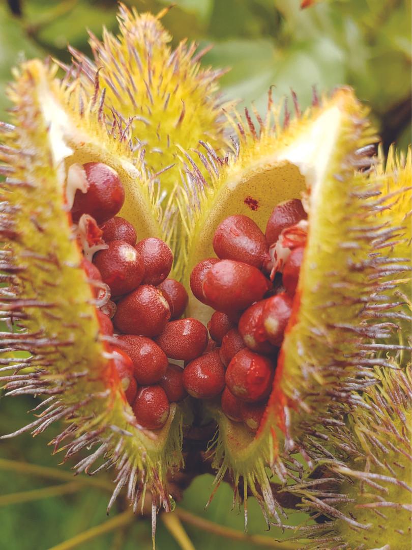 Fruto de urucum verde com as sementes em fase de maturação - Acervo particular do autor