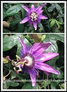3D感十足的Passion Flowers