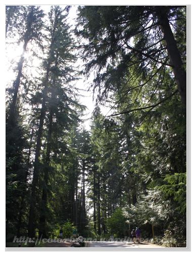 Lynn Canyon Park 高聳的大樹