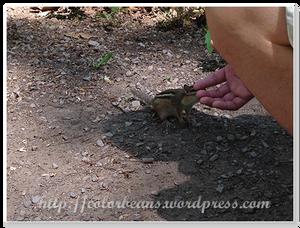 不怕生的花栗鼠