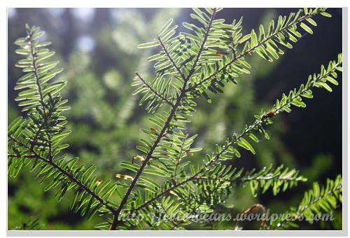Lynn Canyon Park 植物