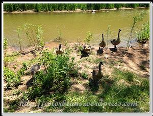加拿大雁 Canada Goose