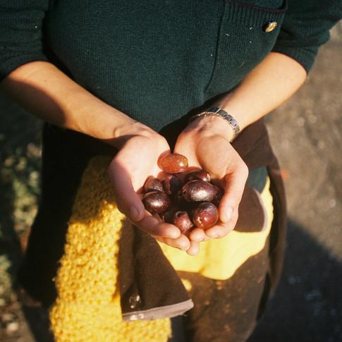 Chrissie harvesting olives