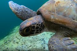 sea turtle small