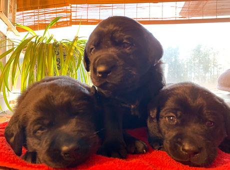 Jinx puppies