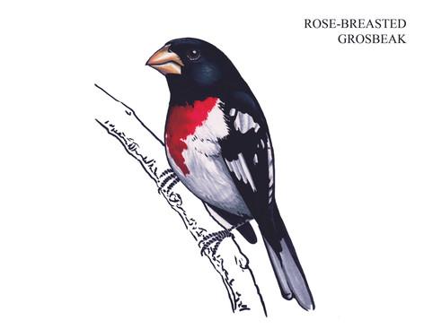 ROSE-BREASTED GROSBEAK Joseph Grice 2019