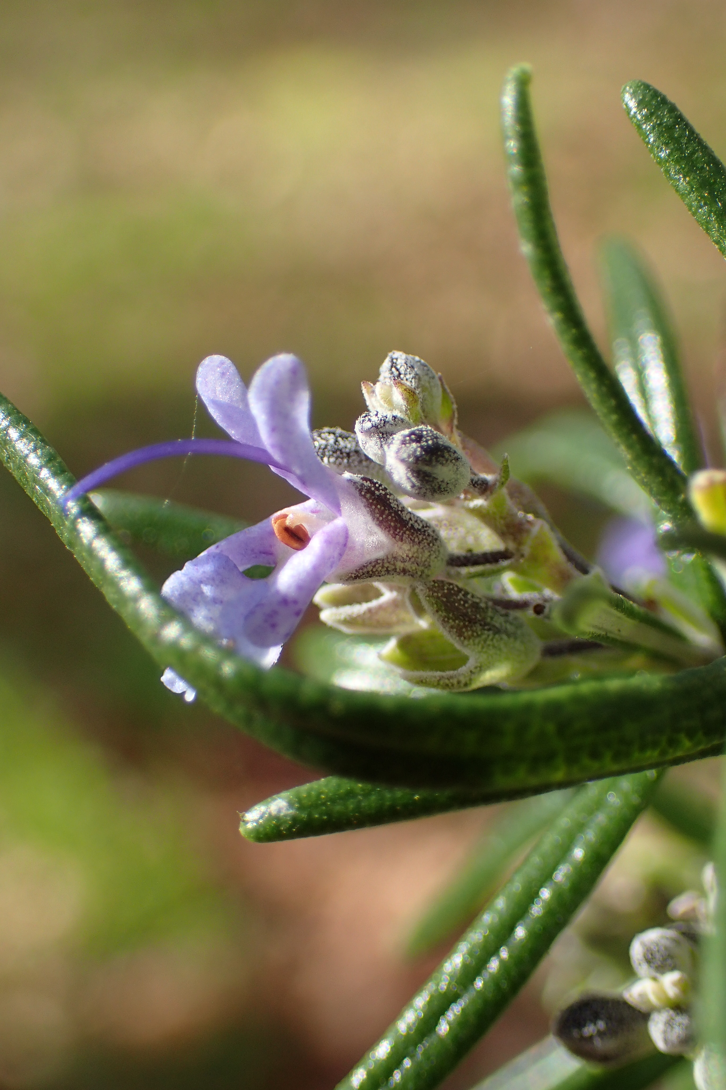Rosmarinus officinalis/Lamiaceae