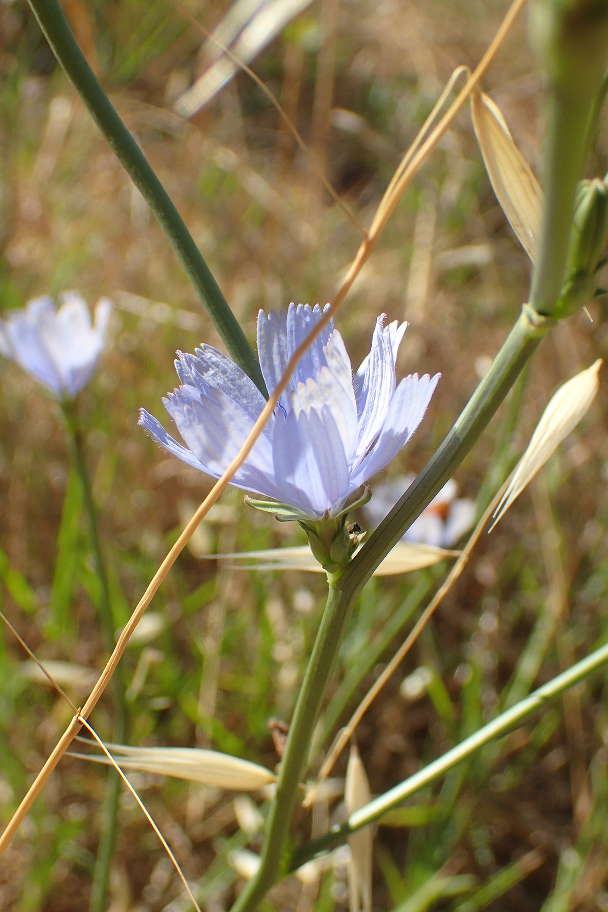 Cichorium intybus / Asteraceae