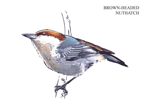 BROWN-HEADED NUTHATCH Joseph Grice 2019