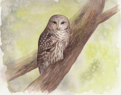 "Barred Owl 8x10"" $200"