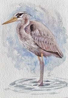 Great Blue Heron $100