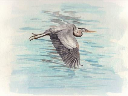 Great Blue Heron 8x10 $200