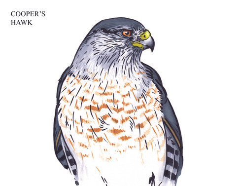 COOPER'S HAWK Joseph Grice 2019