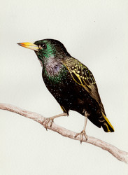 European Starling $150 *Prints Available