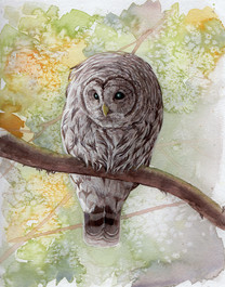 Barred Owl SOLD *Prints Available