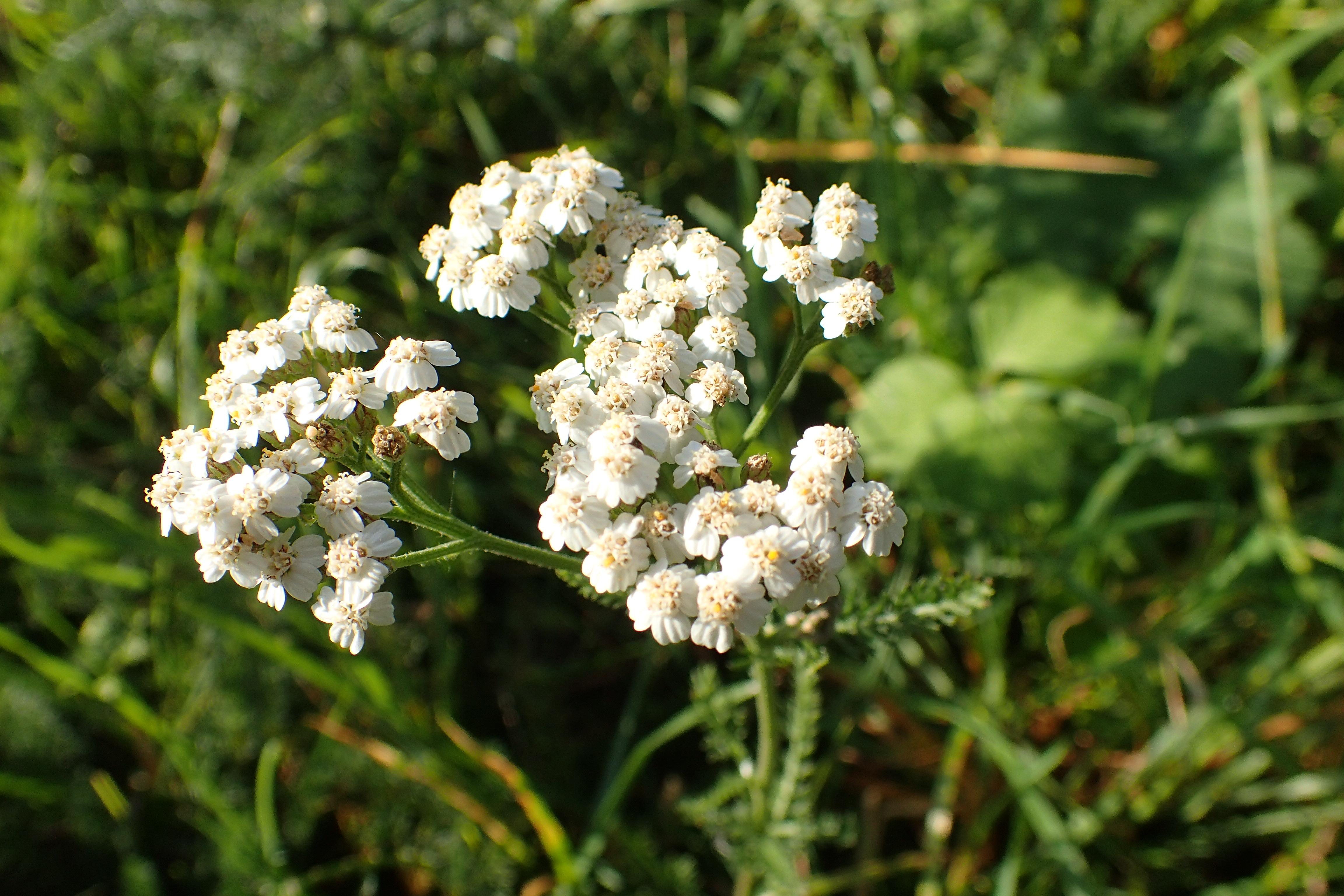 Achillea millefolium/ Asteraceae