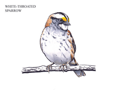 WHITE-THROATED SPARROW Joseph Grice 2019