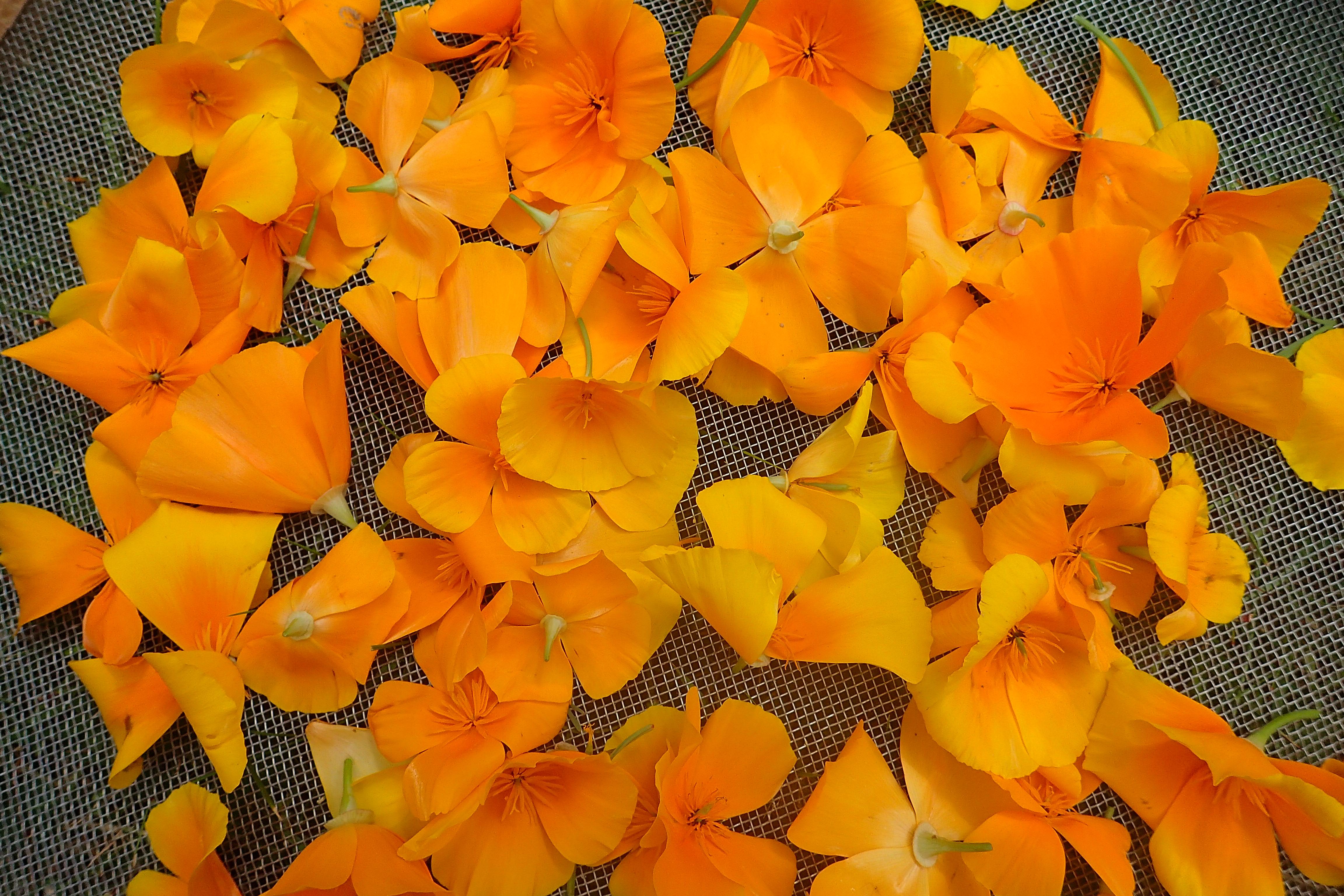 Eschscholzia californica, cueillette pour séchage
