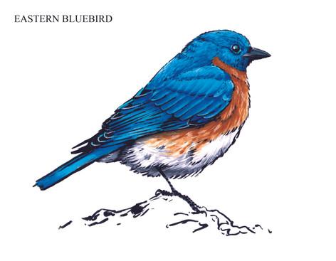 EASTERN BLUEBIRD Joseph Grice 2019