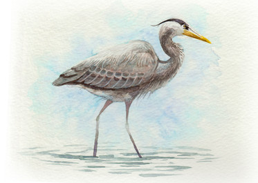 Great Blue Heron SOLD *Prints Available