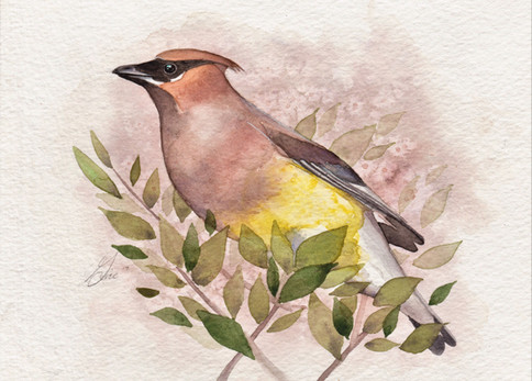 Cedar Waxwing SOLD *Prints Available