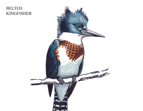 BELTED KINGFISHER Joseph Grice 2019