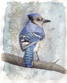 """Bluejay 11x14"""" SOLD *Prints Available"""