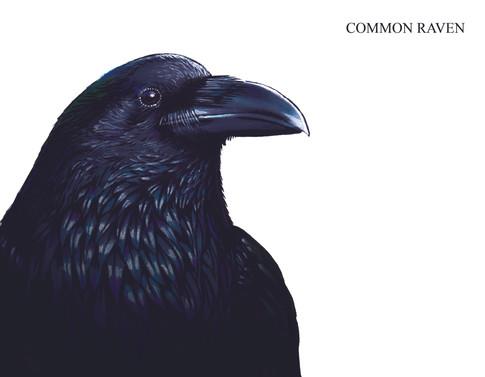 COMMON RAVEN Joseph Grice 2019