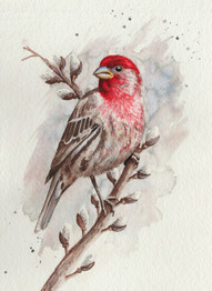 House Finch SOLD *Prints Available