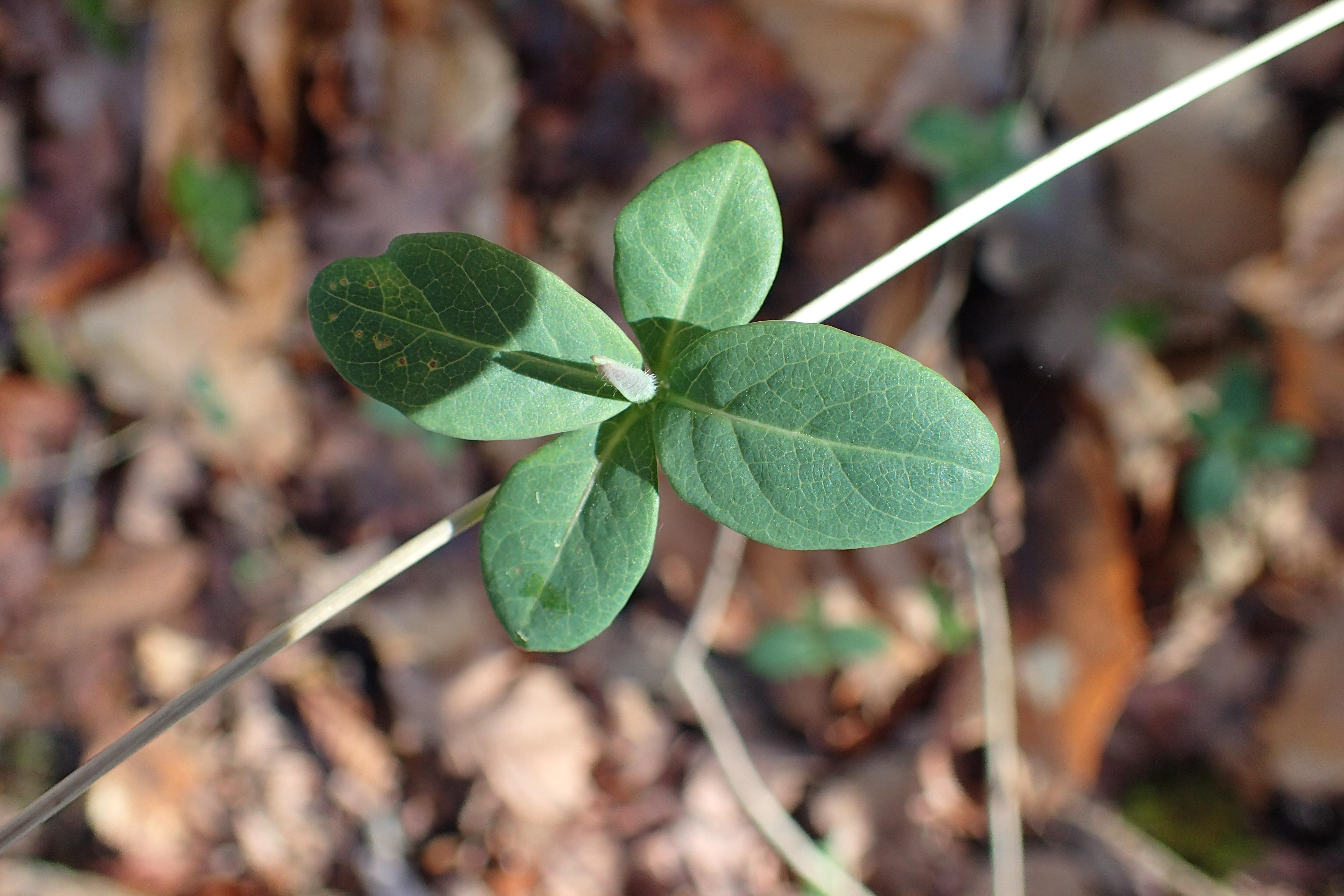 Lonicera caprifolium/ Caprifoliaceae