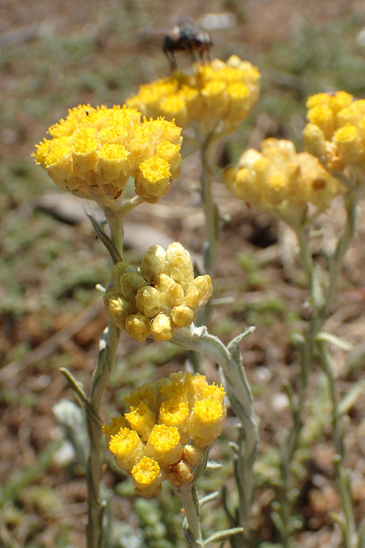 Helichrysum italicum / Asteraceae