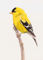 American Goldfinch SOLD *Prints Available