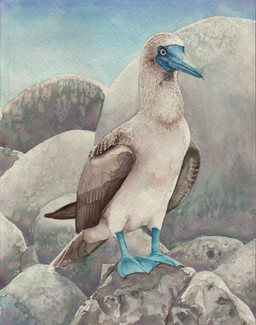 Blue Footed Booby SOLD