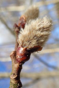 Salix alba, Salicaceae
