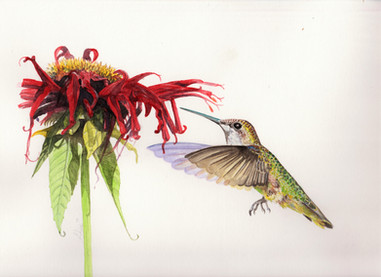 Ruby Throated Hummingbird SOLD *Prints Available