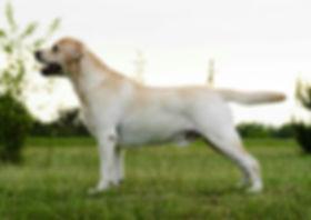 English Labrador Retrievers