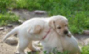 English Labrador Retrievers puppies