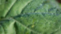 Dew drops on leaf Tigerleaf-1.jpg