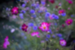 Cosmos and cornflowers at dusk
