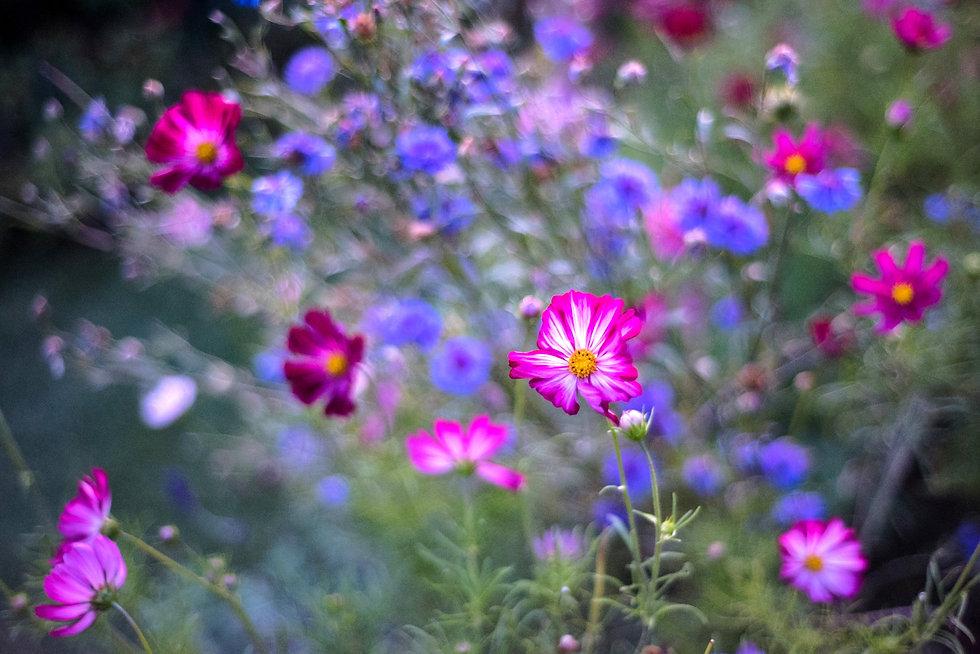 Cosmos%20and%20cornflowers-1_edited.jpg