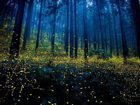 Torna la passeggiata notturna per ammirare le lucciole: tutte le informazioni