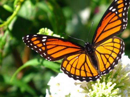 A Milano è nato il primo Miglio delle Farfalle: ecco di cosa si tratta