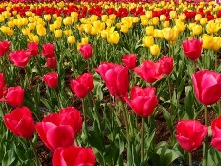 I campi di tulipani lombardi hanno finalmente riaperto al pubblico!