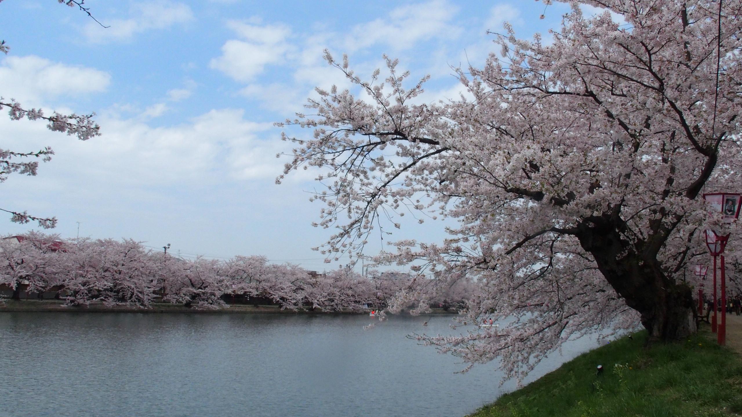 Cerezos en Hirosaki